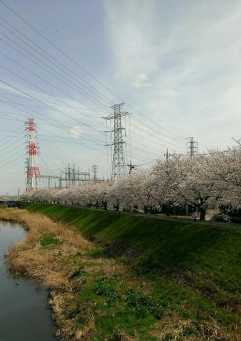渋田川の桜 保健センター近くの橋からの眺め