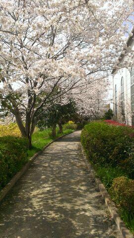 渋田川沿いを少し入った所 桜の影が美しい
