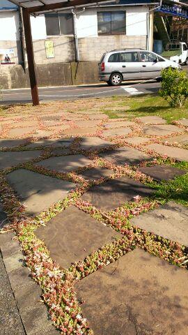 セダムが開花しています