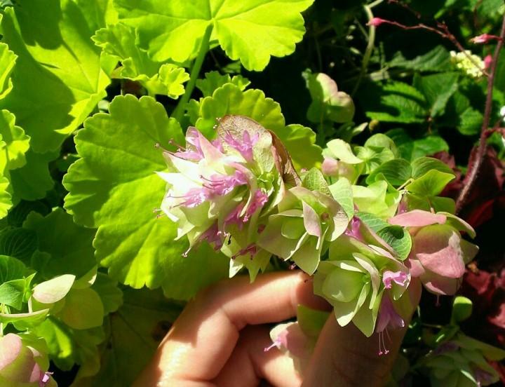 オレガノケントビューティの花が開花しました