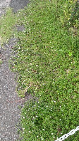 ヒメイワダレソウが伸びに伸びています。本当に可愛くて勢いのあるグランドカバーですね…