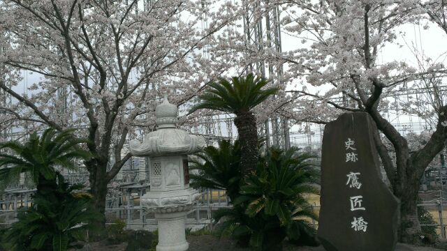 平塚市の桜が見ごろを迎えています