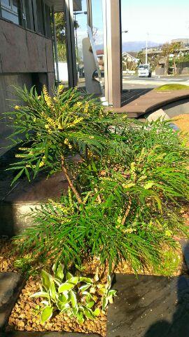 マホニアコンフウサ 花