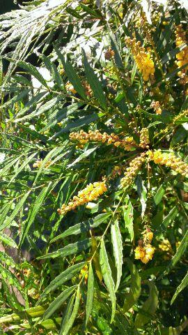 マホニアコンフウサ 花 アップ アトラスホームの庭にて