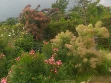 2色のスモークツリーが風になびいています