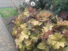 ユキノシタ科のヒューケラ 枯葉のようですがカラーリーフとして他に紫などがあります
