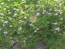 リッピアにとまる蝶