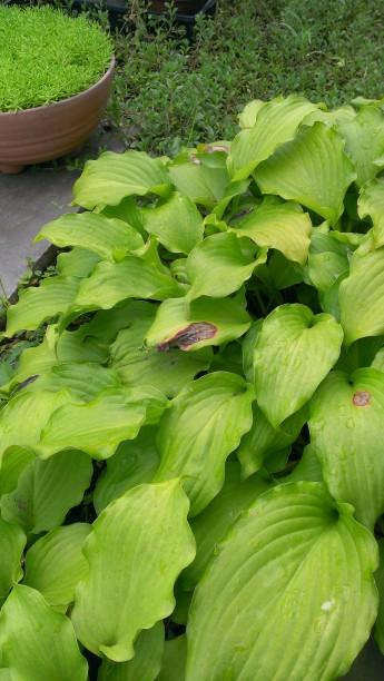 平塚の弊社 アトラスホームの庭のギボウシ ホスタ 葉焼け カラーリーフ 下草