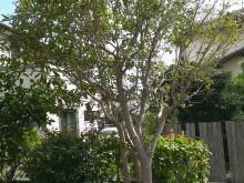 平塚市 金木犀 きんもくせい 開花期は秋 庭木