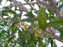 平塚市 金木犀のつぼみ 芳香がある 庭木