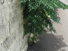 現場の塀の写真 アスファルトが先なのか、木が先だったのか…