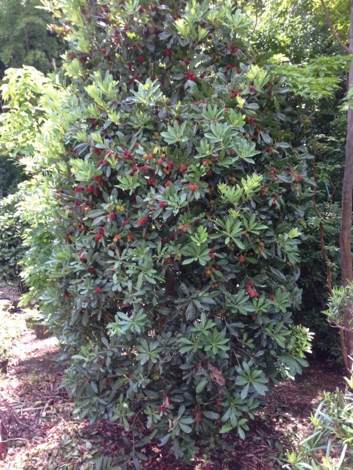 やまもも 常緑広葉樹 雌株の6~7月頃に赤い実が付き、食べられます