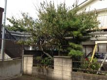 植栽の剪定前 松 梅 金木犀 カボス