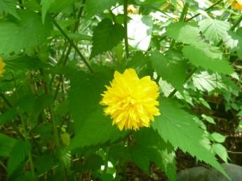 八重ヤマブキ 4月から5月に開花 落葉低木