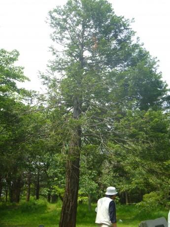 レッドウッド 巨木になる