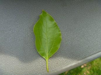 クスノキの葉 三本の主脈が良く目立つ