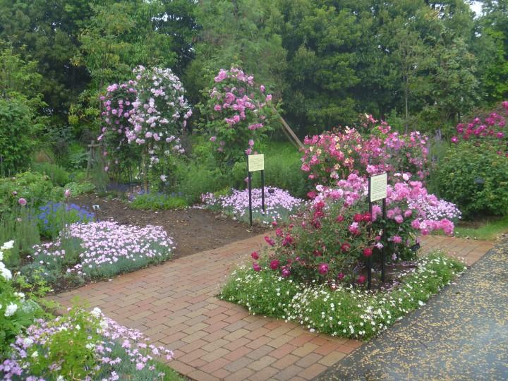 花菜ガーデン バラ