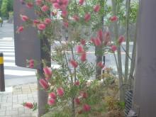 ブラシの木 開花後